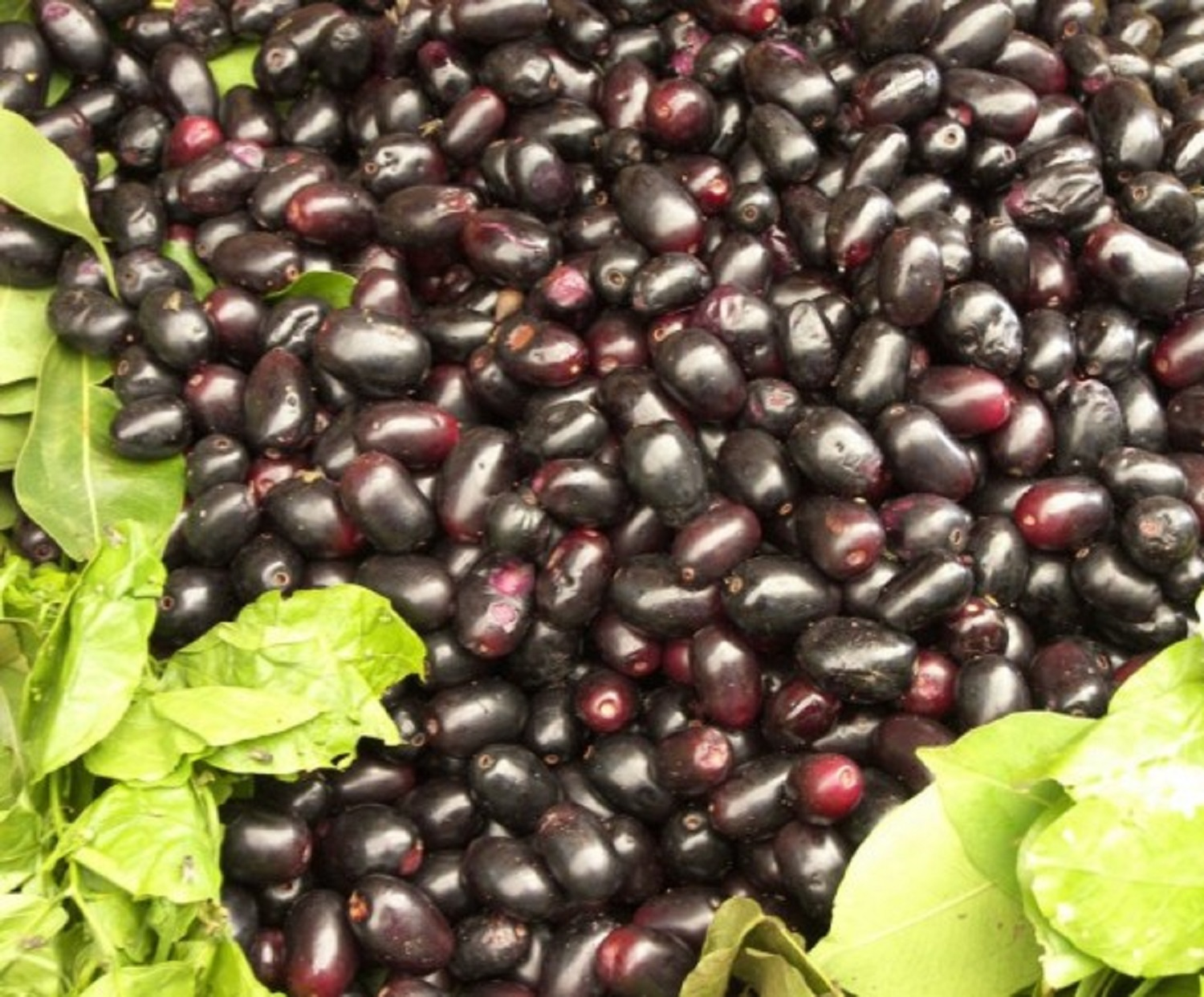 India-Jamun-Fruit-889x667-e1493996785270